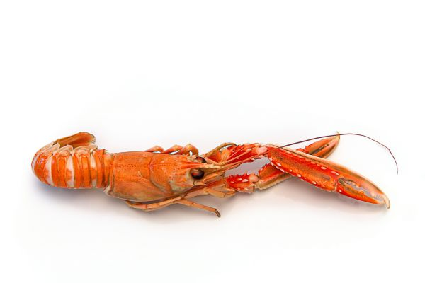 FROZEN NORWAY LOBSTER 8/12/KG MSC